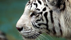 White tiger kills zookeeper in Japan but family urges mercy